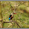 Malachite Kingfisher<br /> There are of course plenty of birds at the springs. Kingfishers abound.