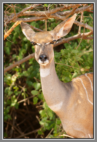 Tsavo West also has a lot of kudu - more lesser than greater