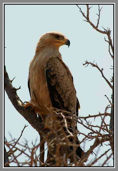 Tawny eagle - probably!<br /> <br /> The next series of shots are all taken on my favorite drive in the Ngulia area, down past two waterholes joined by a stream. There was always something interesting to see and I have a number more photos from this area that I haven't processed yet.