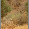 Reedbuck - the Ngulia area is good for reedbuck and bushbuck