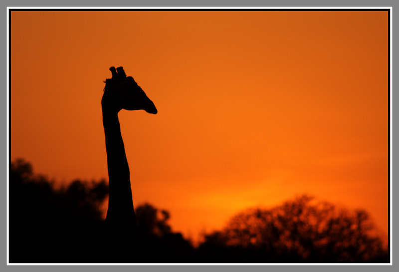 Giraffes are very fond of the woody nature of Tsavo West and you'll have no trouble finding one for a silhouette at sunset.