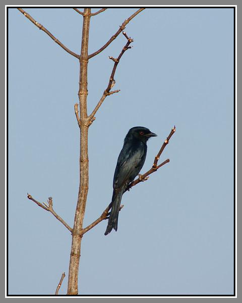 A drongo - a very common bird too