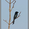 A drongo - a very common bird too