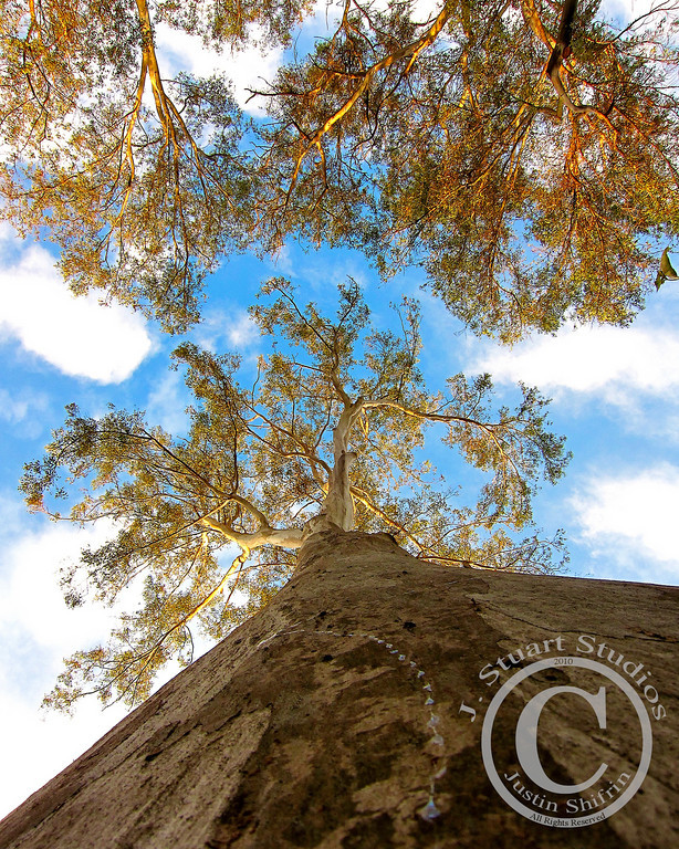 Canopy Ascent<br /> <br /> At 4pm on a December afternoon, the sun bathed this eucalyptus grove with warm rays.  Notice the tracks left by a snail on the trunk of the tree.  With each step the eye inches up towards the glowing canopy.<br /> <br /> March 16, 2010