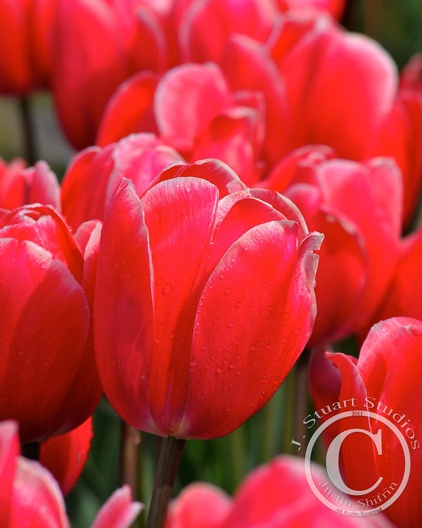Skagit Tulip<br /> <br /> Every year the Skagit Valley's family flower farms are bestowed with countless tulips just like Holland.  This photograph was taken in April, I suggest you pack a few raincoats and take your family to stroll through these beautiful farms.  <br /> <br /> <br /> Ago vita vos somnium (live the life you dream)