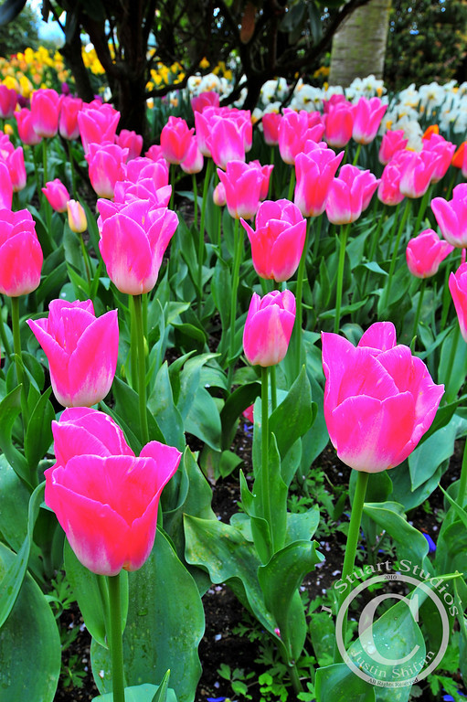 Big Bright Tulips<br /> <br /> These bright pink tulips were one of the highlights of my trip to Washington State.  <br /> <br /> May 6, 2010