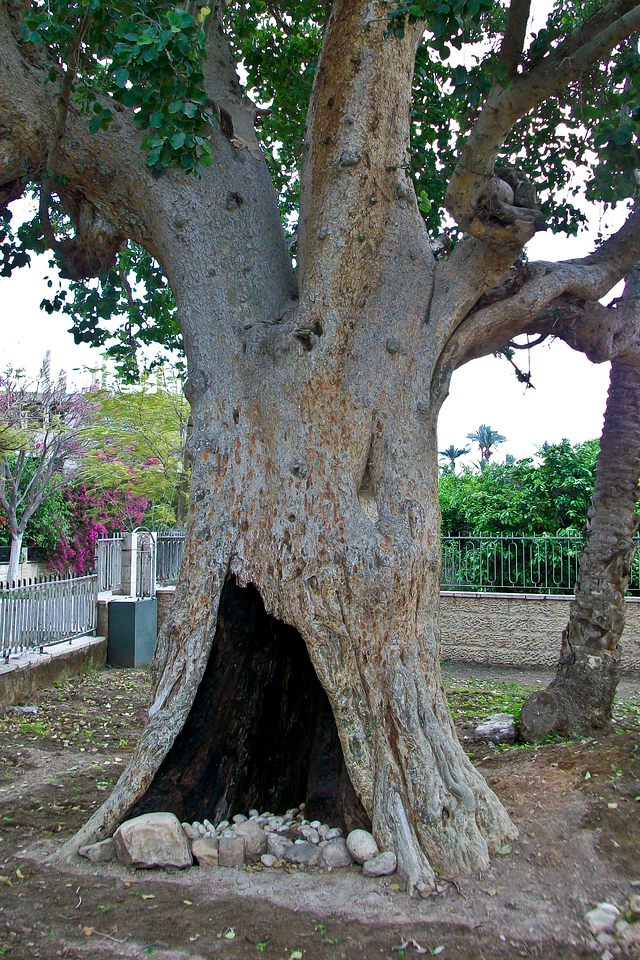 "Jacchaesus, the tax collector, climbed this tree to better see Jesus in the crowd. Jesus looked up at him and said ""Zacchaesus, come down immediately, I must stay at your house today"", and he came down and welcomed him gladly."