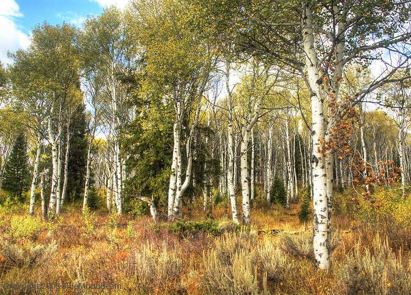 Aspen Grove, Grand Teton National Park, Wyoming