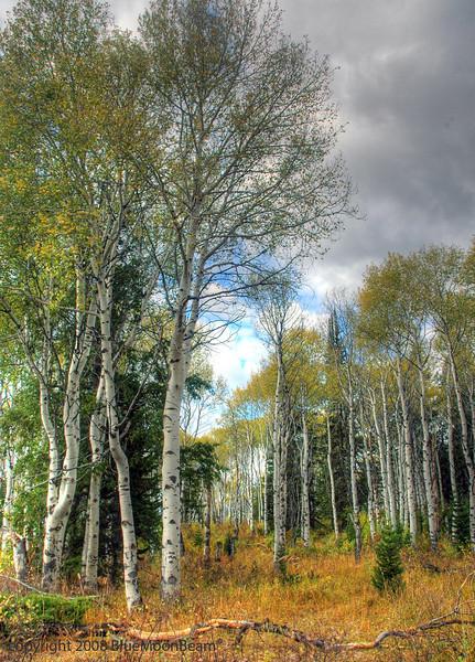 Aspens, Grand Teton National Park, Wyoming