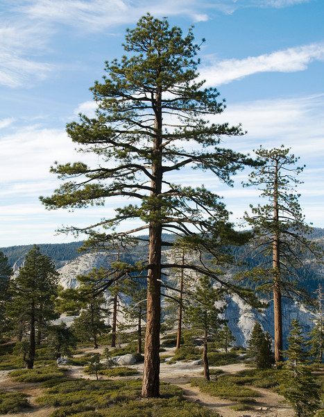 A giant sequoia tree at Taft Point, Yosemite National Park, California