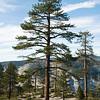 A giant sequoia tree at Taft Point, Yosemite National Park, California