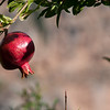 Pomegranites have an important role in Turkish culture.