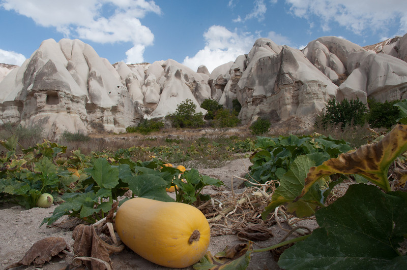 Ran into this healthy pumpkin crop way back in the hills, no one around. It provides imagination for what the American Southwest might have looked like in Anasazi times.