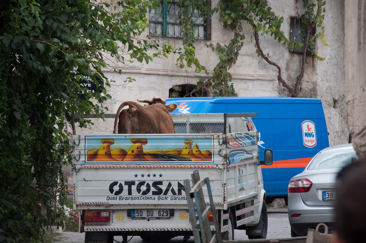 Cows transported by truck.