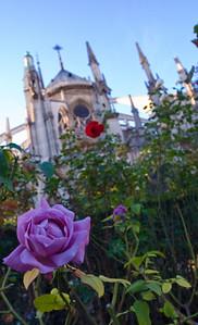 Rose garden behind Notre Dame