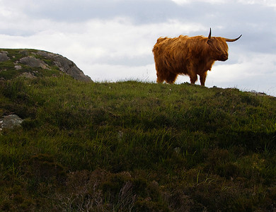 Highland cow, Lewis, Scotland