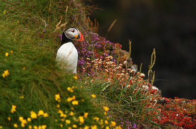 Puffin of Staffa, Scotland