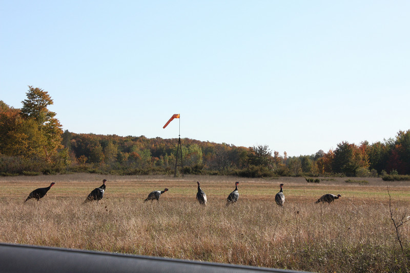 Wild turkeys near Sleeping Bear National Lakeshore