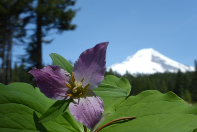Trillium flower with Mt Hood in the distance