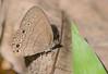 Hermes Satyr Butterfly (Hermeuptychia hermes)
