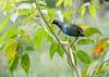 Purple Galinule (Porphyrio martinicus)