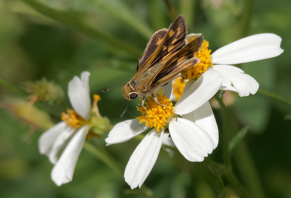 Fiery Skipper on Bidens Alba