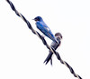 Barn Swallows (?)