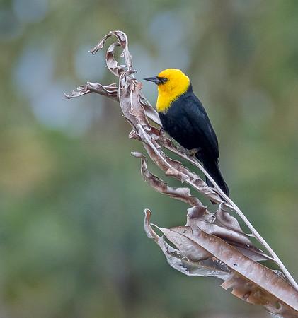 Yellow Hooded Blackbird (Trinidad, February 2014)