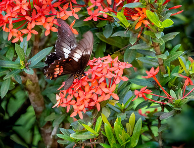 Ruby-spotted Swallowtail Butterfly on Ixora