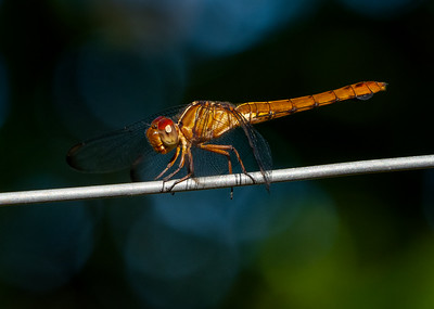 Female Carmine Skimmer Dragonfly (photographed in Trinidad)