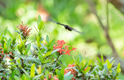 Ruby-spotted Swallowtail Butterfly over Ixora
