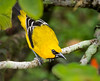 Yellow Oriole (male)