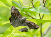 Sickle-winged Skipper Butterfly