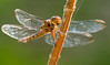 Tropical King Skimmer Dragonfly (Orthemis schmidti)