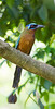 bluecrowned_motmot__little_tobago003