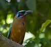 bluecrowned_motmot__little_tobago002