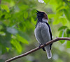 bearded_bellbird-Tri149