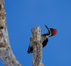 lineated_woodpecker_T001