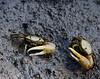 fiddler crab_TT001
