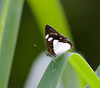 butterfly_tobago002