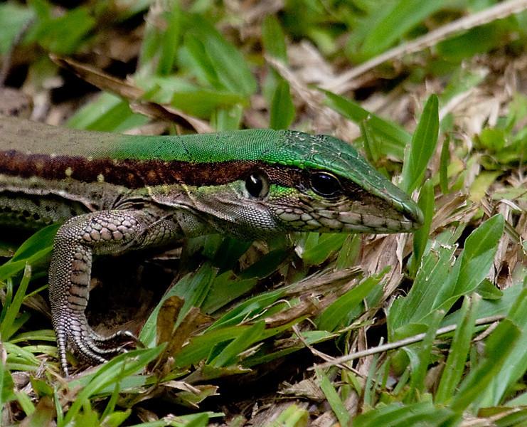 garden_lizard_T002