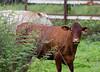 cows_farm_TT070
