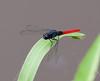 dragonflies_TT081