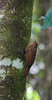 plainbrown_woodcreeper_TT001