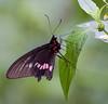 butterflies_TT003