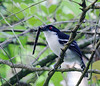 great_antshrike_F_T000