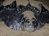 leatherbackturtle_eggylaying_maturabeach_TT004