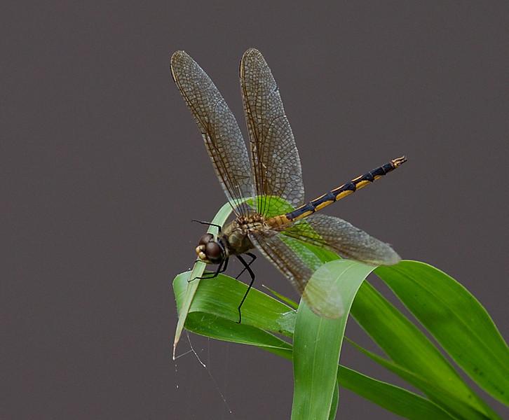 dragonflies_TT080