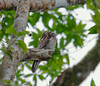 common_potoo_Tob131