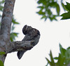 common_potoo_Tob130